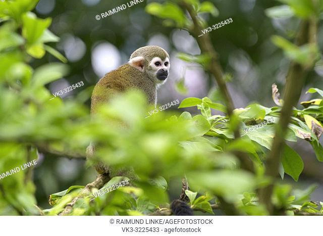 Squirrel Monkey, Saimiri sciureus