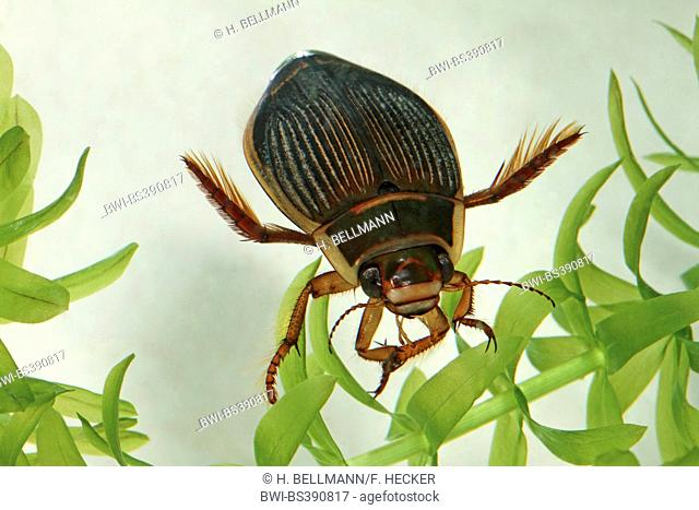 great diving beetle (Dytiscus marginalis), female with water plant, Germany