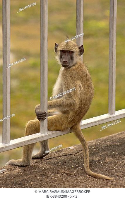 Baboon (Papio sp.) sitting relaxed on a bridge railing, South Luangwa, Zambia