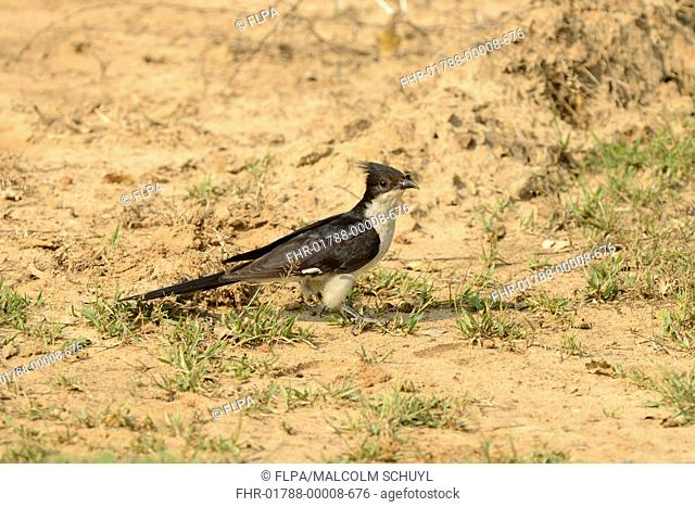 Jacobin Cuckoo (Clamator jacobinus) adult, standing on sandy ground, Yala N.P., Sri Lanka, March