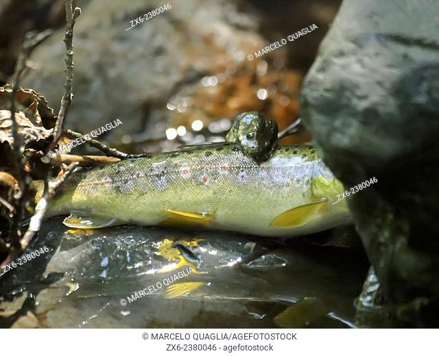 Water snake hunting a fish. Tordera River. Montseny Natural Park. Barcelona province, Catalonia, Spain
