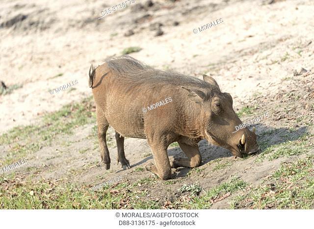 Africa, Southern Africa, Bostwana, Chobe National Park, Whathog adult (Phacochoerus africanus), eating on his knees