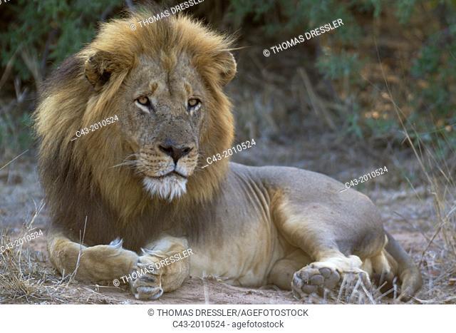 Lion (Panthera leo) - Resting male. Kruger National Park, South Africa