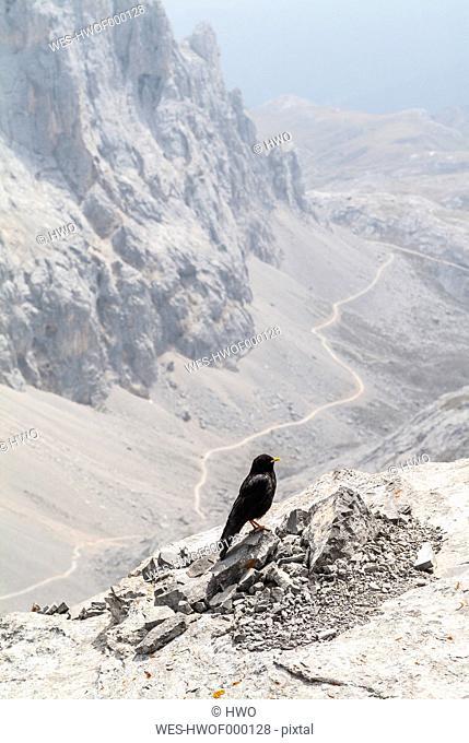 Spain, Cantabria, Picos de Europa National Park, UNESCO Biosphere Reserve, alpine chough, Pyrrhocorax graculus