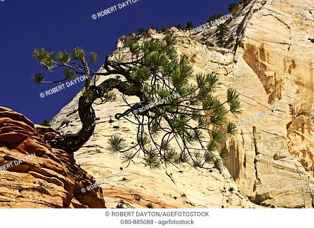 A Ponderosa Pine in Zion NP, Utah