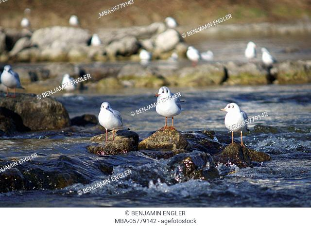 Germany, Bavaria, Munich at daylight, city centre, gulls at the Isar