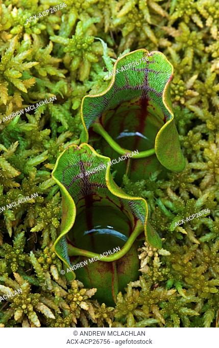 Pitcher Plant Sarracenia purpurea