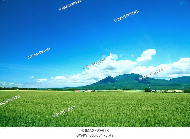 Wheat field with Mount Tokachi in background against cloudy sky