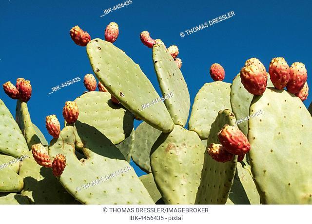 Prickly pear (Opuntia ficus-indica) with fruit, Tabernas Desert, Almeria, Andalusia, Spain
