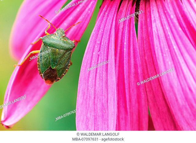 green shield bug, Palomena prasina on purple coneflower