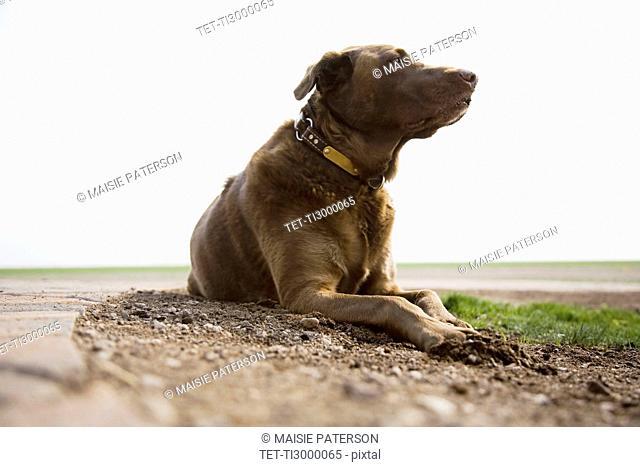 Chocolate Labrador looking away