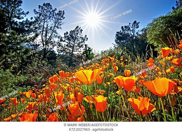 Figueroa Mountain, California Poppy wildflowers on Figueroa Mountain in the San Rafael Mountains in southern California