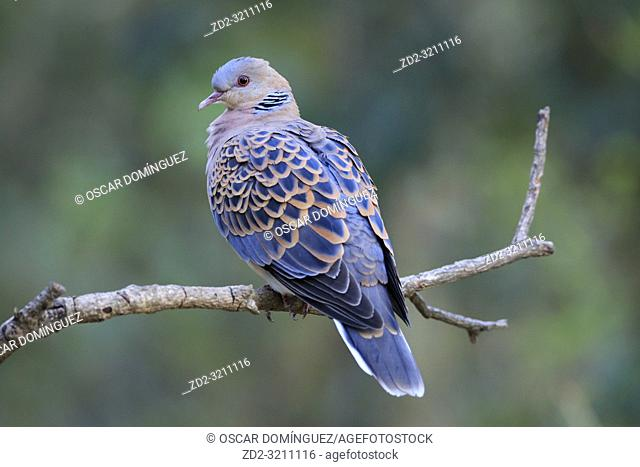 Oriental Turtle-dove (Streptopelia orientalis) perched on branch. Pangot. Nainital district. Uttarakhand. India