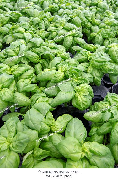 Fresh green basil leaves full frame kitchen garden