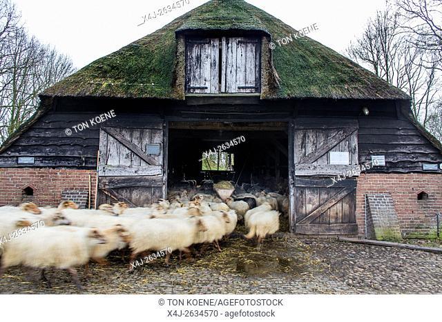 herding sheep in Holland