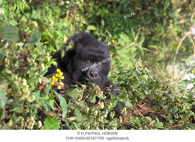 Mountain Gorilla Gorilla beringei beringei black-back adult male, amongst vegetation, Parc National des Volcans Volcanos N P , Rwanda