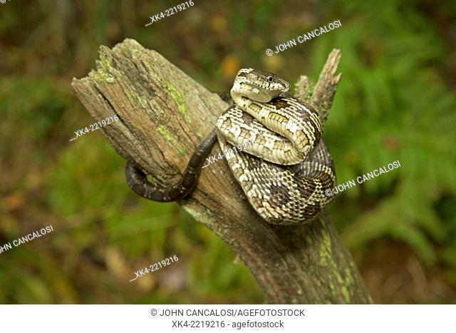 Black rat snake, Elaphe obsoletus, (Panteropsis obsoletus), juvenile, Pennsylvania, USA