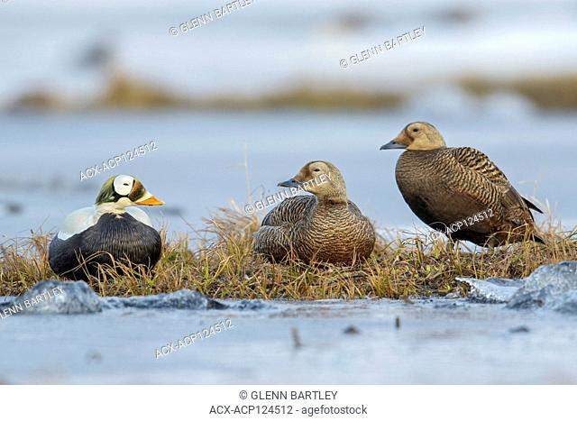 Spectacled Eider (Somateria fischeri) feeding on a small pond on the tundra in Northern Alaska