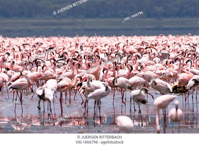 flamboyance of Lesser Flamingos, Phoenicopterus minor, NAKURU NATIONAL PARK, KENYA, EAST Africa - NAKURU NATIONAL PARK, KENYA, 24/09/2008