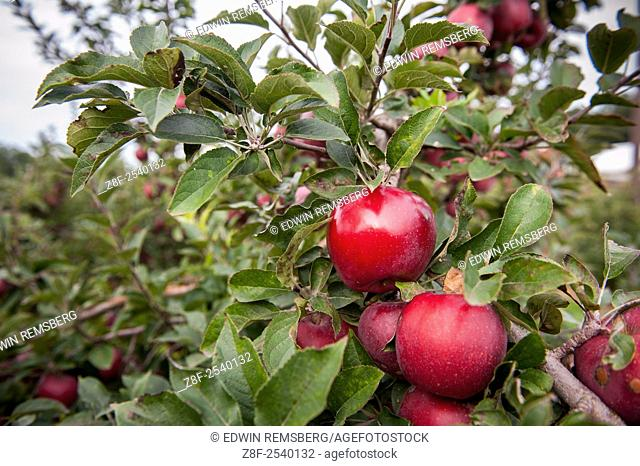 Red apples on an apple tree in an orchard in Elkton, Maryland, USA