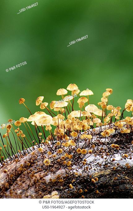 Button mushrooms, Marasmius sp., Basidiomycetes, Agaricales