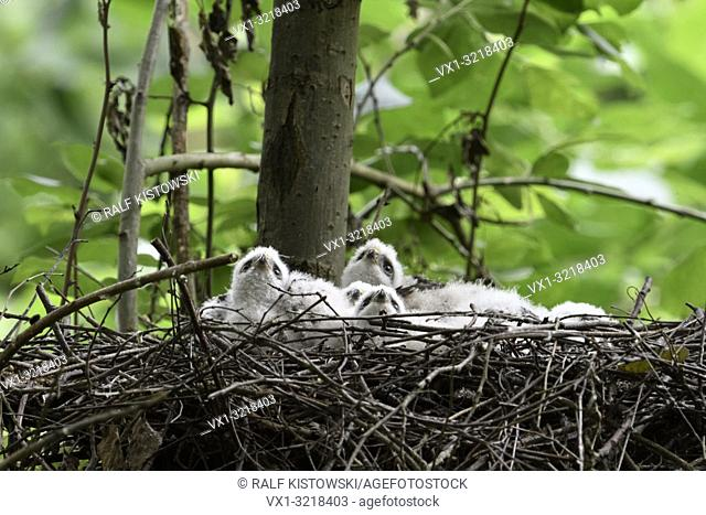 Sparrowhawk / Sperber ( Accipiter nisus ), cute young chicks, lying in their eyrie, watching up to the sky, seems to be frightened