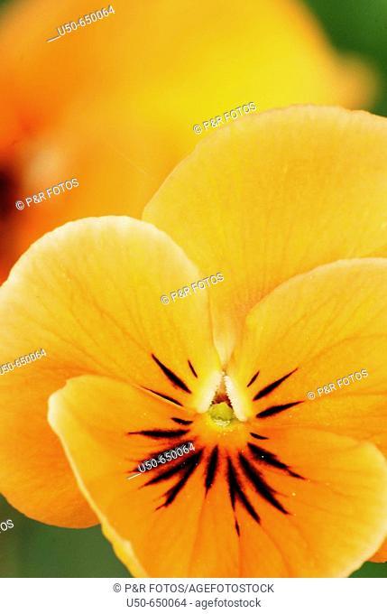 Horned Pansy, Hornet violet, Viola cornuta, Violaceae. Edible flower. Bonn, Germany