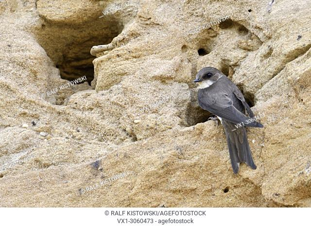 Sand Martin / Bank Swallow ( Riparia riparia) resting at the entrance of its nest hole in a sand cliff of a river bank, watching, wildlife, Europe