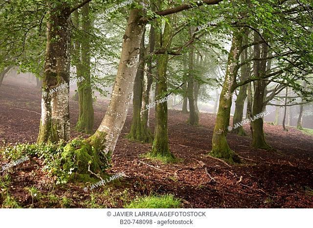Beeches, forest in mist. Belate, Baztan valley, Navarra