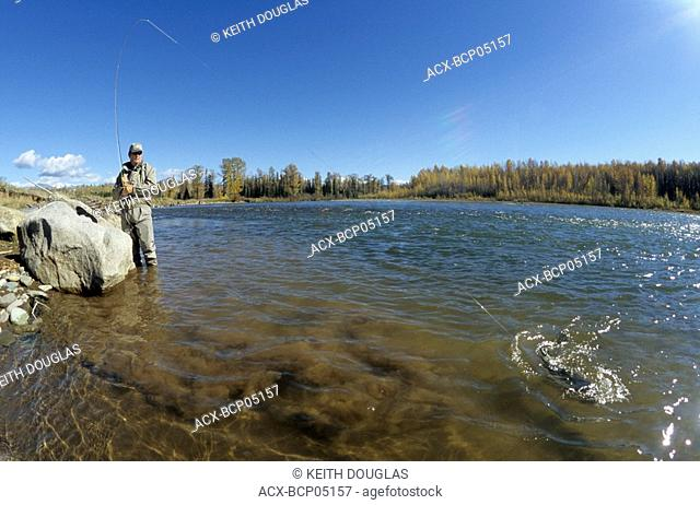 Flyfisherman playing steelhead, Bulkley river, Smithers, British Columbia, Canada