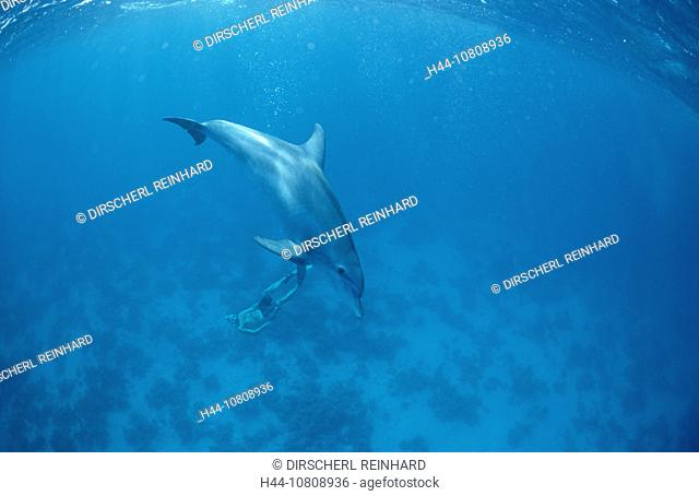 action, bottlenose dolphin, bottlenose dolphins, diving, Egypt, North Africa, holiday, holidays, live, mammal, mamma