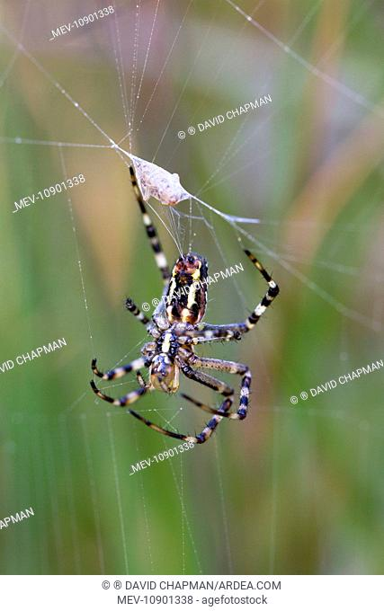 Wasp Spider (Argiope bruennichi). at web - Cornwall, UK