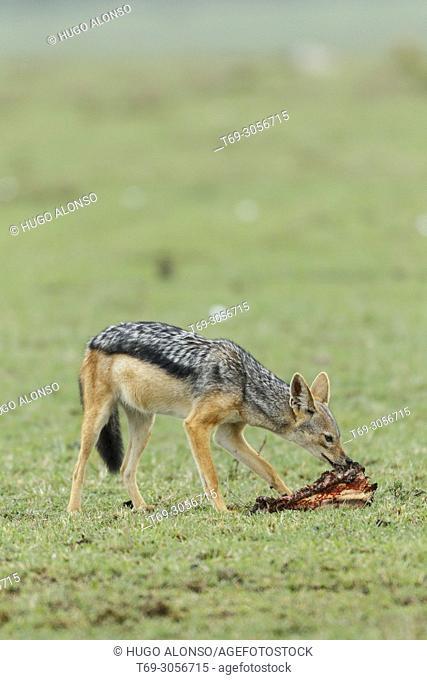 black-backed jackal eating a carcass. Canis mesomelas. Kenia. Africa