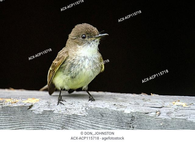 Eastern phoebe (Sayornis phoebe) Perched on a shed near its nest, Greater Sudbury, Ontario, Canada