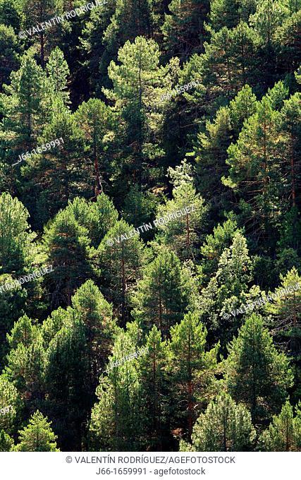 Scots pine forest in the Serranía de Cuenca