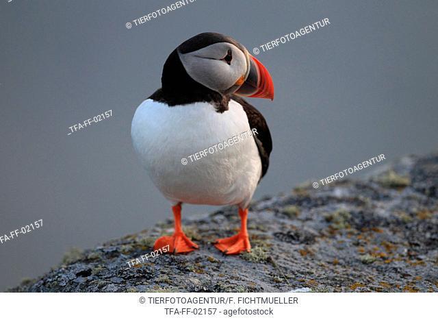 Atlantic puffin