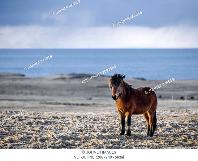 Young wild horse on beach