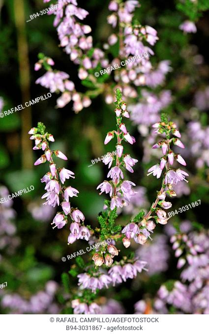 Tree heat (Erica arborea, fam. Ericaceae) flowers. Sorteny valley Natural Park. Andorra. Europe
