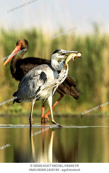 Hungary, Csongrad, Kiskunsagi National Park, Pusztaszer, Grey Heron (Ardea cinerea), fishing, and a black stork