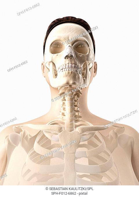 Human skull anatomy, Illustration