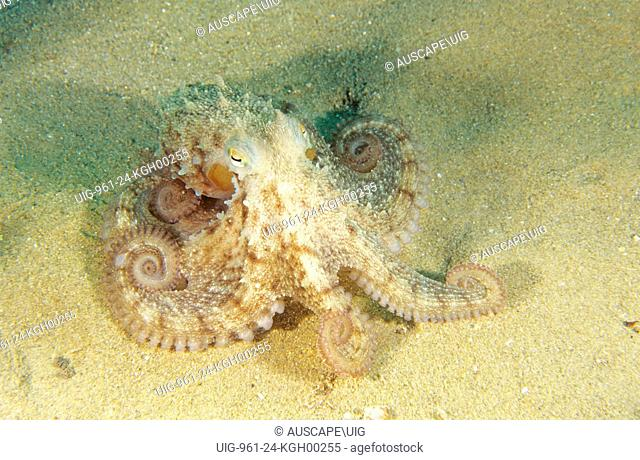 Common octopus (Octopus vulgaris), moving over sand with arms coiled. Porto Palo, Sicily, Italy. Mediterranean Sea
