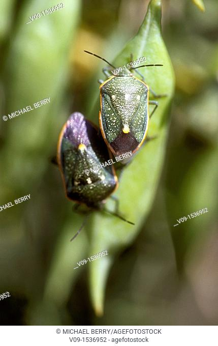 Green stink bug (Acrosternum hilare), Joshua Tree National Park, California, USA
