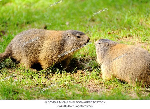 Close-up of two Alpine Marmot (Marmota marmota) on a meadow