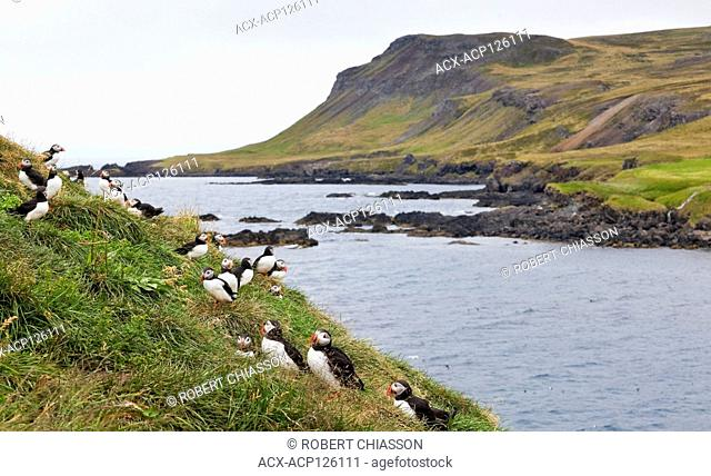 Atlantic puffin colony on a grassy mound overlooking the inlet to the Hafnarholmi harbour in Iceland
