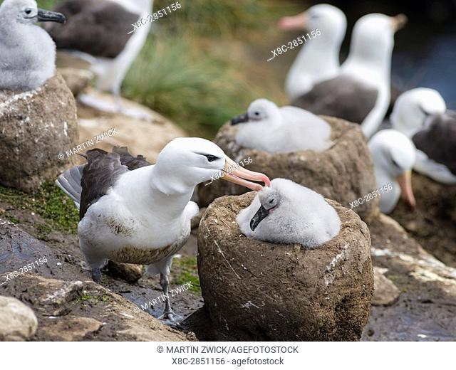 Black-browed Albatross ( Thalassarche melanophris ) or Mollymawk, adult bird and chick on tower shaped nest. South America, Falkland Islands, January