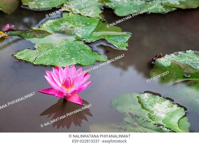 Pink lotus blossoms with dew drops on pond