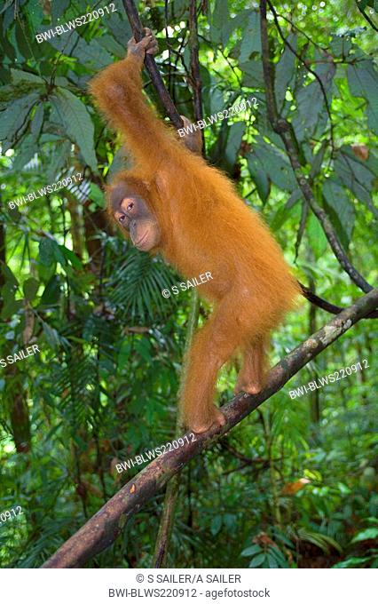 Sumatran orangutan Pongo pygmaeus abelii, Pongo abelii, young one standing erect on a branch in a sumatran rainforest, Indonesia, Sumatra