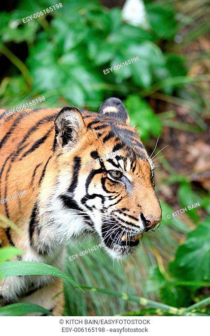 A close up shot of a Sumatran Tiger