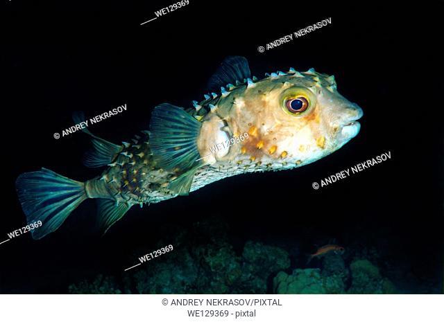 Orbicular Burrfish (Cyclichtys orbicularis) Red Sea, Egypt, Africa