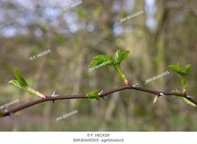 dog rose (Rosa canina), leaf shoots in spring, Germany